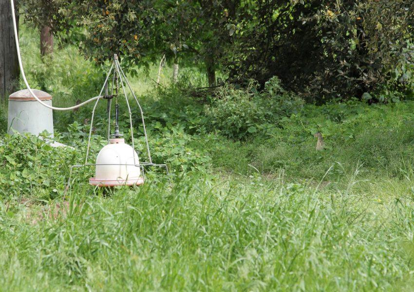 Allevamento fagiano